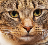 λεπτομερές γάτα πορτρέτο προσώπου Στοκ Εικόνα