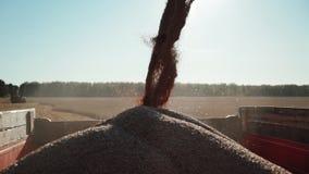 Λεπτομερές ρεύμα άποψης του σίτου σιταριού που διοχετεύεται στο εμπορευματοκιβώτιο φορτηγών απόθεμα βίντεο