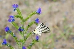 Λεπτομερής άποψη μιας πεταλούδας - podalirius Iphiclides σε ένα λουλούδι Symphytum officinale Στοκ φωτογραφία με δικαίωμα ελεύθερης χρήσης