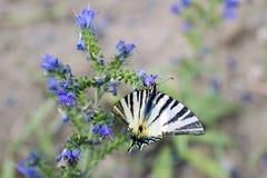 Λεπτομερής άποψη μιας πεταλούδας - podalirius Iphiclides σε ένα λουλούδι Symphytum officinale Στοκ εικόνα με δικαίωμα ελεύθερης χρήσης