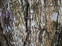 Λεπτομερής ξύλινη σύσταση φλοιών με τις ρωγμές Επιφάνεια πινάκων ακατέργαστου ξύλου Στοκ Εικόνες