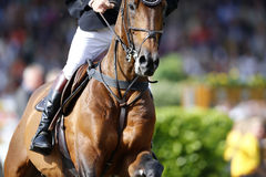 Λεπτομερής φωτογραφία ενός καφετιού αλόγου που πλησιάζει το άλμα, που πυροβολεί από το μέτωπο Στοκ Εικόνες