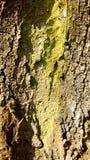 Λεπτομερής φλοιός δέντρων Στοκ εικόνες με δικαίωμα ελεύθερης χρήσης