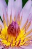 λεπτομερής waterlily Στοκ εικόνα με δικαίωμα ελεύθερης χρήσης