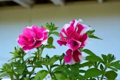 Λεπτομερή ρόδινα και άσπρα λουλούδια στην άνθιση Στοκ Εικόνες