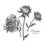 Λεπτομερή συρμένα χέρι λουλούδια καθορισμένα - ανθίζοντας peonies η ανασκόπηση απομόνωσε το λευκό Διανυσματικά λουλούδια στο εκλε διανυσματική απεικόνιση