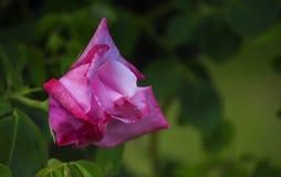 Λεπτός αυξήθηκε λουλούδι σε ένα πράσινο υπόβαθρο Στοκ φωτογραφία με δικαίωμα ελεύθερης χρήσης
