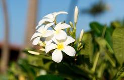 Λεπτός εκλεκτής ποιότητας τόνος Plumeria λουλουδιών Στοκ φωτογραφίες με δικαίωμα ελεύθερης χρήσης