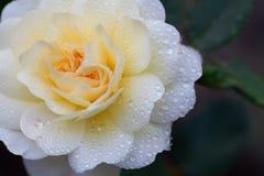 Λεπτός κίτρινος αυξήθηκε υγρός με τις σταγόνες βροχής Στοκ Φωτογραφία