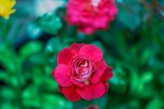 Λεπτός κόκκινος κρεμώδης αυξήθηκε λουλούδι σε ένα θολωμένο πράσινο υπόβαθρο Στοκ Εικόνες