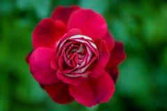 Λεπτός κόκκινος κρεμώδης αυξήθηκε λουλούδι σε ένα θολωμένο πράσινο υπόβαθρο Στοκ φωτογραφία με δικαίωμα ελεύθερης χρήσης