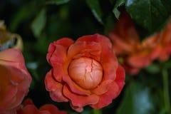 Λεπτός κόκκινος κρεμώδης αυξήθηκε λουλούδι σε ένα θολωμένο πράσινο υπόβαθρο Στοκ Φωτογραφίες