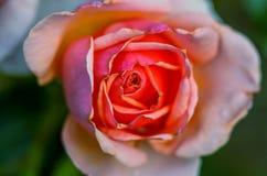 Λεπτός κόκκινος κρεμώδης αυξήθηκε λουλούδι σε ένα θολωμένο πράσινο υπόβαθρο Στοκ εικόνες με δικαίωμα ελεύθερης χρήσης