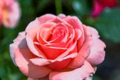 Λεπτός κόκκινος κρεμώδης αυξήθηκε λουλούδι σε ένα θολωμένο πράσινο υπόβαθρο Στοκ Φωτογραφία
