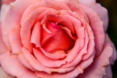 Λεπτός κόκκινος κρεμώδης αυξήθηκε λουλούδι σε ένα θολωμένο πράσινο υπόβαθρο Στοκ Εικόνα