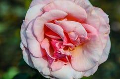 Λεπτός κόκκινος κρεμώδης αυξήθηκε λουλούδι σε ένα θολωμένο πράσινο υπόβαθρο Στοκ φωτογραφίες με δικαίωμα ελεύθερης χρήσης