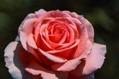 Λεπτός κόκκινος κρεμώδης αυξήθηκε λουλούδι σε ένα θολωμένο πράσινο υπόβαθρο Στοκ εικόνα με δικαίωμα ελεύθερης χρήσης