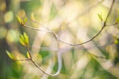 Λεπτός κλαδίσκος θάμνων με να ξετυλίξει τα φύλλα Στοκ Εικόνα