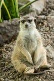 Λεπτός-παρακολουθημένο suricatta Meercat - Suricata Στοκ Φωτογραφίες