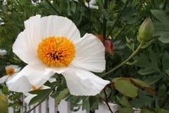 Λεπτό άσπρο διακοσμητικό λουλούδι, argemone albiflora Στοκ Φωτογραφίες