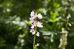 Λεπτό άσπρο και ρόδινο λουλούδι στον κήπο Στοκ Εικόνα