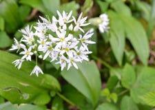 Λεπτό άσπρο λουλούδι με το πράσινο υπόβαθρο φυλλώματος Στοκ εικόνα με δικαίωμα ελεύθερης χρήσης
