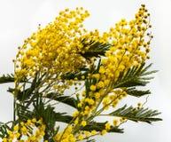 Λεπτό κίτρινο dealbata ακακιών Mimosa λουλουδιών Στοκ Φωτογραφίες