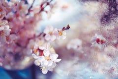 Λεπτό κεράσι ή βερίκοκο οπωρωφόρων δέντρων λουλουδιών Στοκ φωτογραφία με δικαίωμα ελεύθερης χρήσης