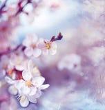 Λεπτό κεράσι ή βερίκοκο οπωρωφόρων δέντρων λουλουδιών Στοκ φωτογραφίες με δικαίωμα ελεύθερης χρήσης