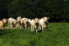 Λεπτό κοπάδι Charolais των βοοειδών Στοκ φωτογραφίες με δικαίωμα ελεύθερης χρήσης
