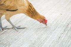 Λεπτό κοτόπουλο κινηματογραφήσεων σε πρώτο πλάνο που τρώει κάτι στο υπόβαθρο πατωμάτων τσιμέντου με το διάστημα αντιγράφων Στοκ Φωτογραφία