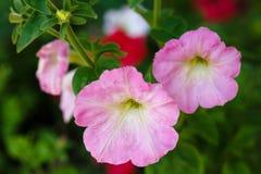λεπτό λουλούδι Όμορφη πορφυρή πετούνια Στοκ Φωτογραφία