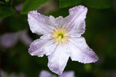 Λεπτό λουλούδι clematis στοκ φωτογραφίες με δικαίωμα ελεύθερης χρήσης