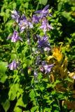 Λεπτό λουλούδι Aquilegia columbine vulgaris στον κήπο Στοκ Εικόνες