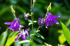 Λεπτό λουλούδι Aquilegia columbine vulgaris στον κήπο Στοκ Φωτογραφία
