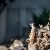 Λεπτό παρακολουθημένο Meerkats Στοκ Εικόνα