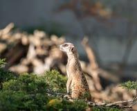 Λεπτό παρακολουθημένο Meerkats Στοκ φωτογραφία με δικαίωμα ελεύθερης χρήσης