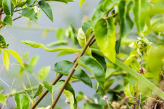 Λεπτό πράσινο φίδι Στοκ φωτογραφία με δικαίωμα ελεύθερης χρήσης