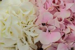 Λεπτό ρόδινο υπόβαθρο της κινηματογράφησης σε πρώτο πλάνο λουλουδιών hydrangea Στοκ φωτογραφίες με δικαίωμα ελεύθερης χρήσης