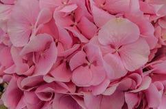 Λεπτό ρόδινο υπόβαθρο της κινηματογράφησης σε πρώτο πλάνο λουλουδιών hydrangea Στοκ φωτογραφία με δικαίωμα ελεύθερης χρήσης