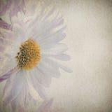 Λεπτό ρόδινο χρυσάνθεμο λουλουδιών Στοκ Εικόνες