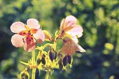 Λεπτό υπόβαθρο με τα λουλούδια των άγριων γερανιών Στοκ Φωτογραφίες