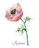 Λεπτό anemone watercolor Στοκ Φωτογραφίες