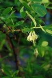 Λεπτό bellflower Στοκ εικόνα με δικαίωμα ελεύθερης χρήσης