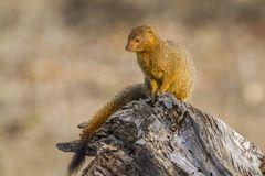Λεπτό mongoose στο εθνικό πάρκο Kruger, Νότια Αφρική Στοκ Φωτογραφίες