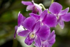 λεπτό orchid Στοκ Εικόνες