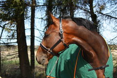 Λετονικό άλογο κόλπων φυλής στο πράσινο πορτρέτο παλτών μέσα Στοκ Εικόνες