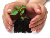 λευκές νεολαίες φυτών &alpha Στοκ φωτογραφίες με δικαίωμα ελεύθερης χρήσης
