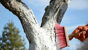 Λευκαίνοντας το δέντρο μηλιάς καλλιεργήστε την άνοιξη φιλμ μικρού μήκους