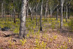 Λευκαμένα δέντρα σε Nourlangie, εθνικό πάρκο Kakadu, Αυστραλία Στοκ εικόνα με δικαίωμα ελεύθερης χρήσης